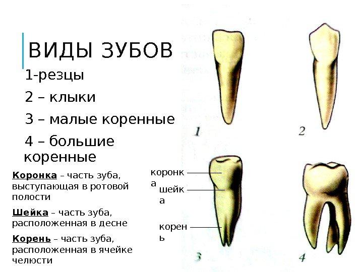 Сколько резцов находится в каждой челюсти
