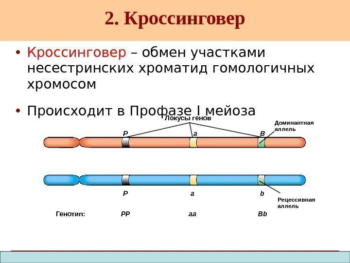 Copyright © 2003 Pearson Education, Inc. publishing as Benjamin Cummings • Кроссинговер – обмен