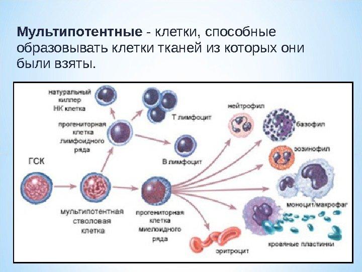 Как определяется количество стволовых клеток в организме