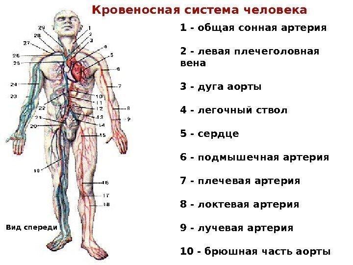 чертой схема кровеносной системы человека фото героиня любит наслаждаться