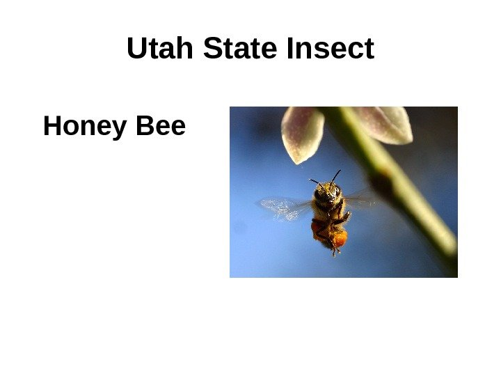 Utah State Insect Honey Bee