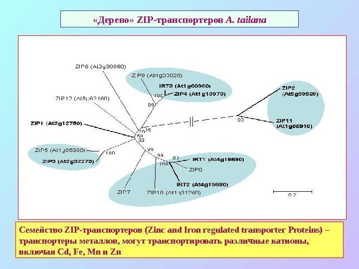 «Дерево»  ZIP- транспортеров A. tailana Семейство ZIP- транспортеров (Zinc and Iron regulated