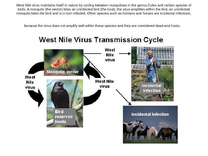 West Nile virus maintains itself in nature by cycling between mosquitoes in
