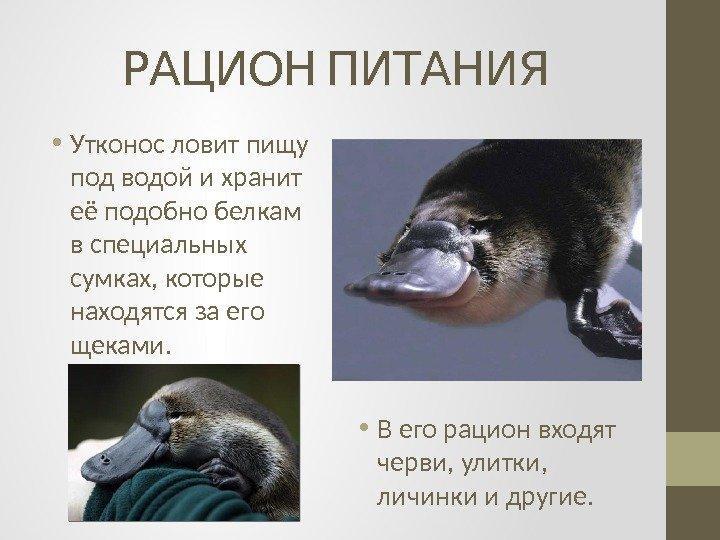 на что ловить утконоса