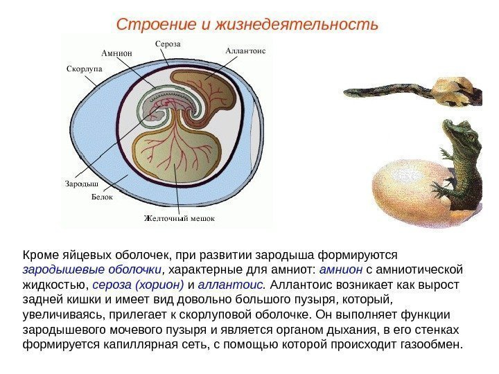 amnion formation The amnion—the amnion is a membranous sac which surrounds and in the human embryo the earliest stages of the formation of the amnion have not been.