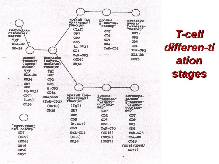 T-cell differen-ti ation stages