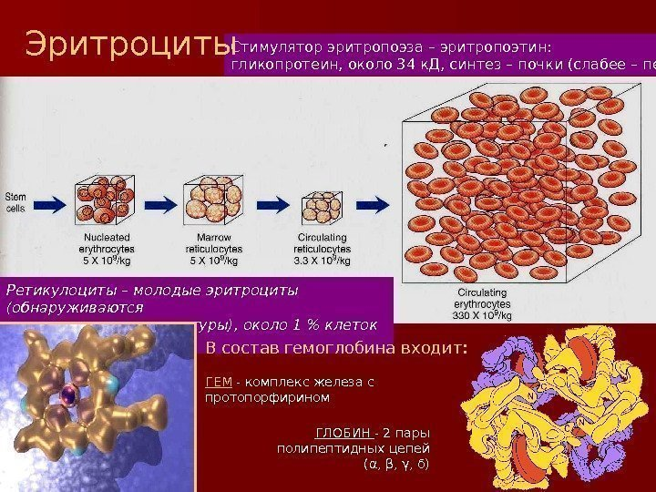 characteristics of the erythropoietin a glycoprotein hormone The erythropoietin hormone level can be detected and measured in the blood (the epo test) measurement of the blood erythropoietin level can be used to chemically, erythropoietin a protein with an attached sugar (a glycoprotein) it is one of a number of similar glycoproteins that serve as.