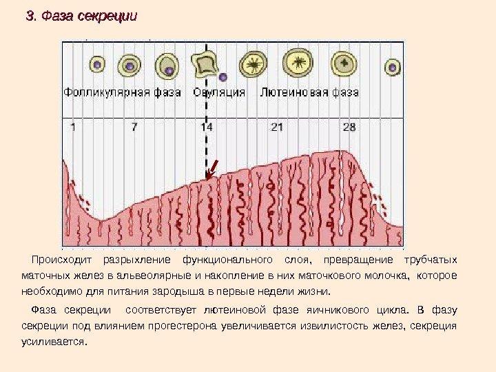 Эндометрий соответствует фазе пролиферации