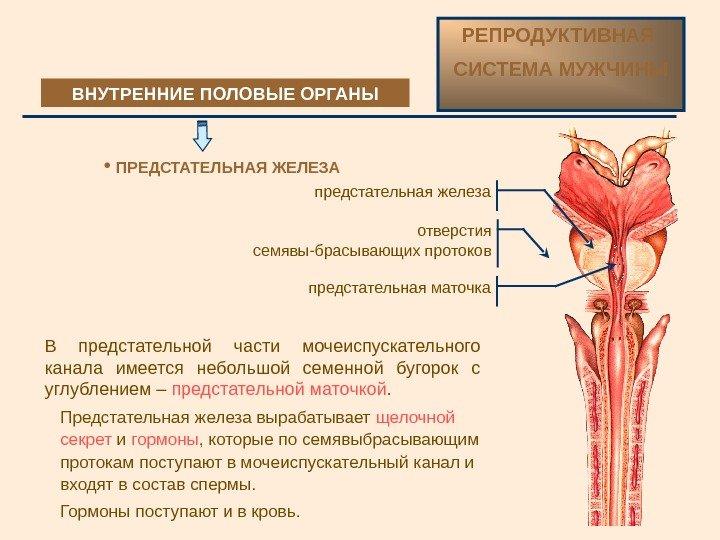 Из сперматозоидов секрета предстательной железы