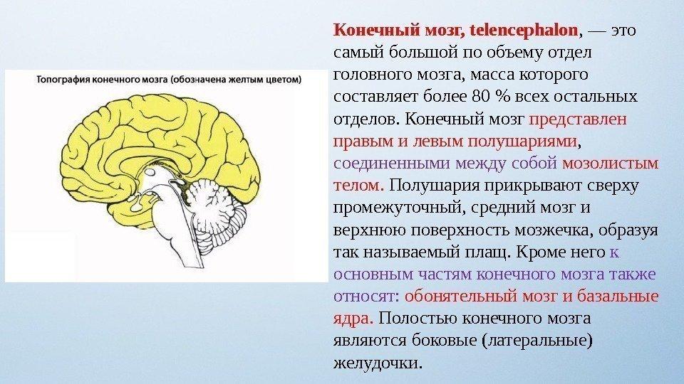 Cerebrum  anatomy  Britannicacom