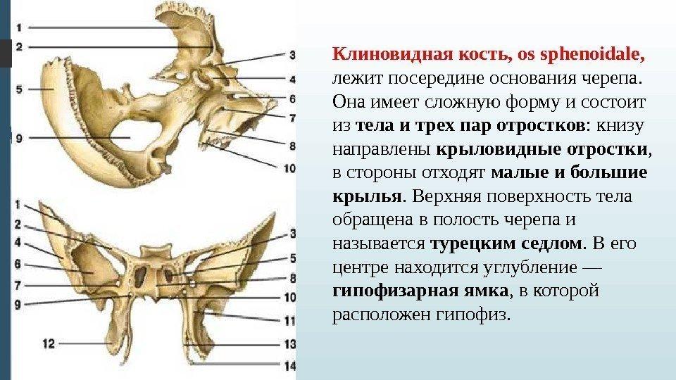 Sphenoid bone anatomy