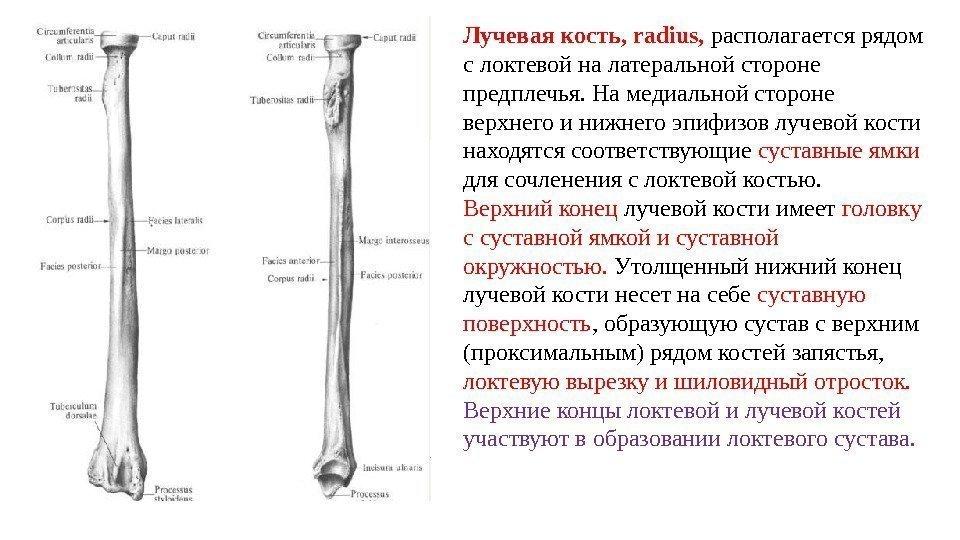 Морфофункциональная характеристика лучезапястного сустава лечение от болей в суставах