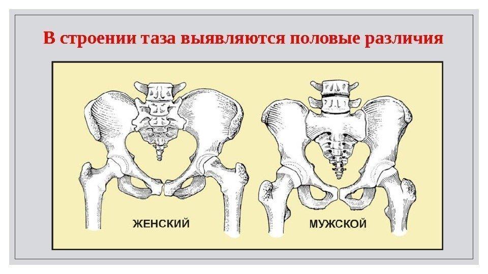 Женский и мужской скелет отличия
