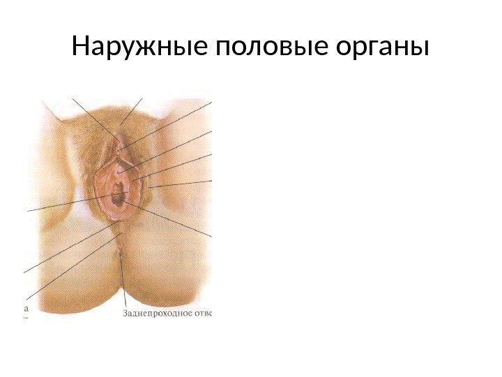 polovie-organi-zh