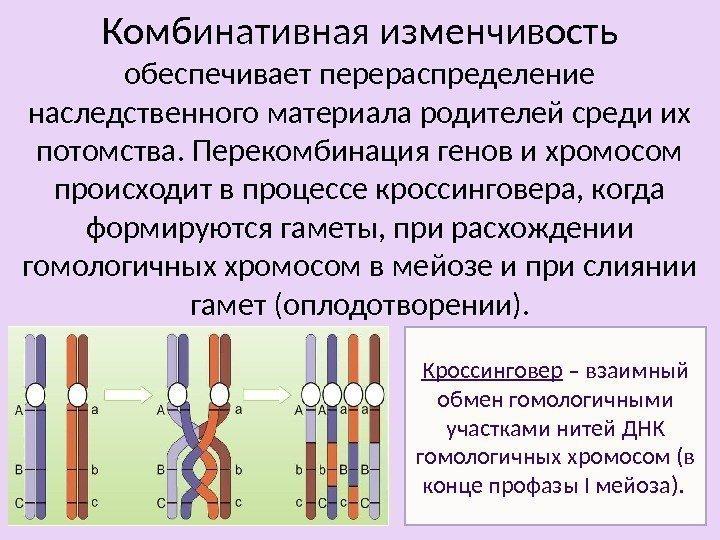 пользе 3 перекрест хромосом происходит легенде