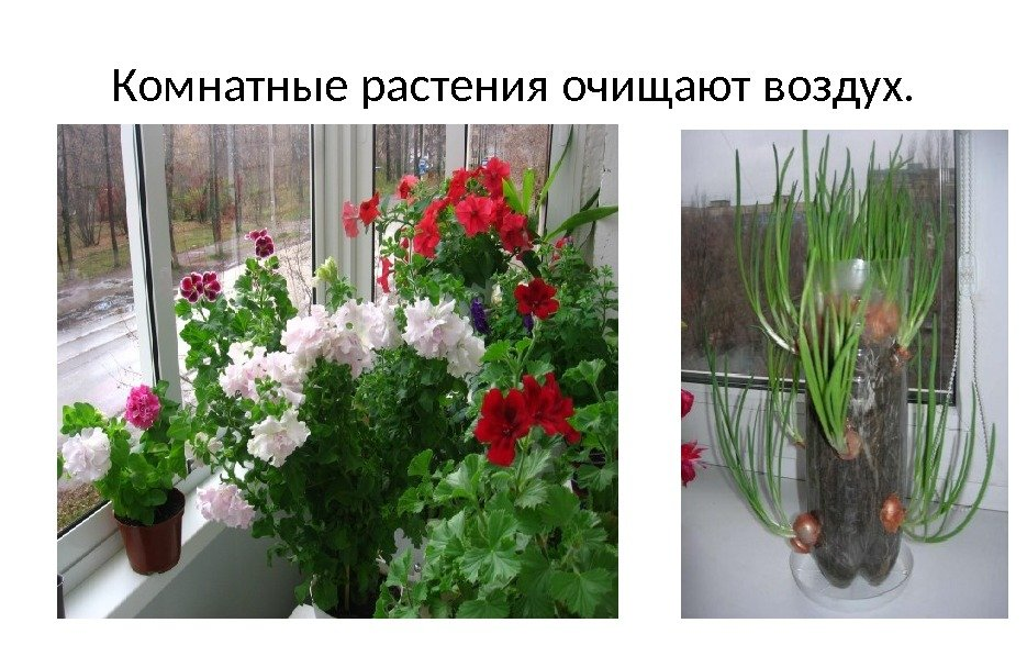 комнатные растения очищающих воздух фото