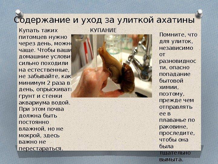 Питание улиток ахатин в домашних условиях