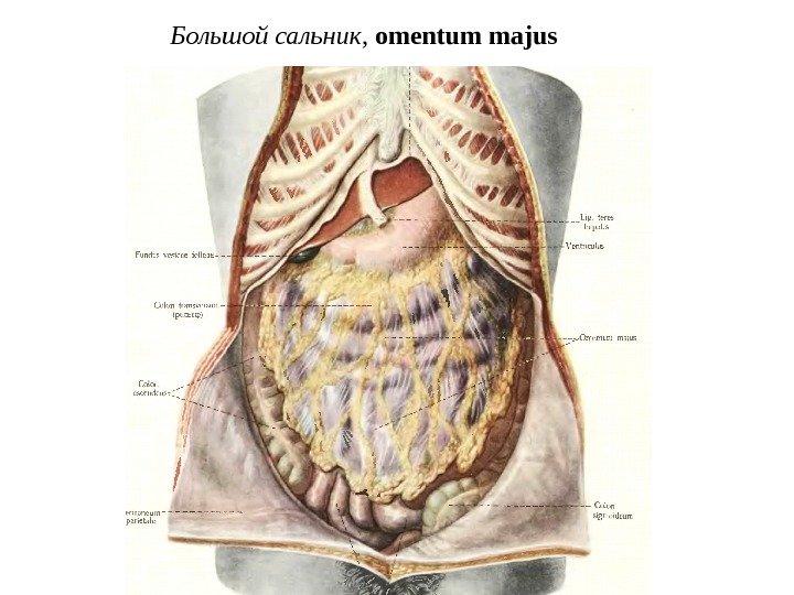 Сальник анатомия картинка