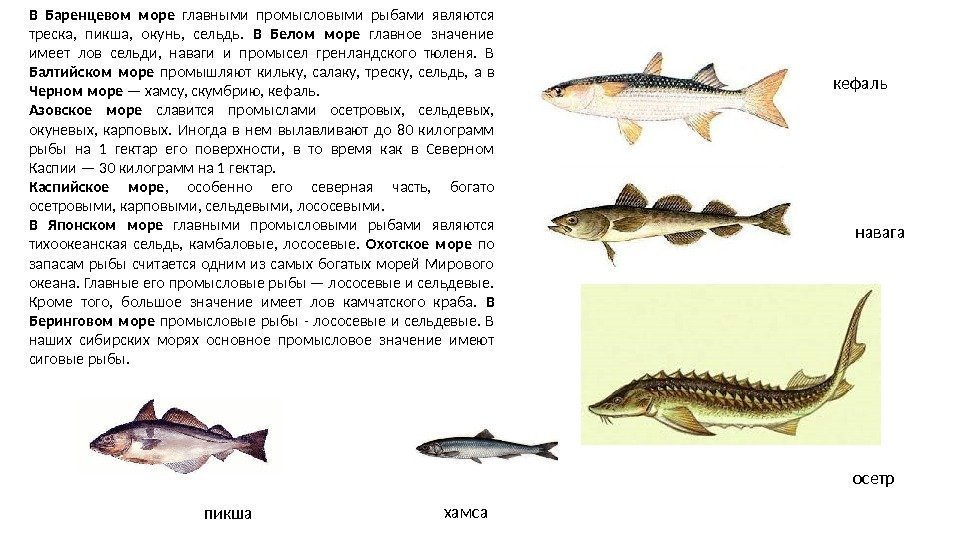 Рыбы баренцевого моря фото и краткое описание