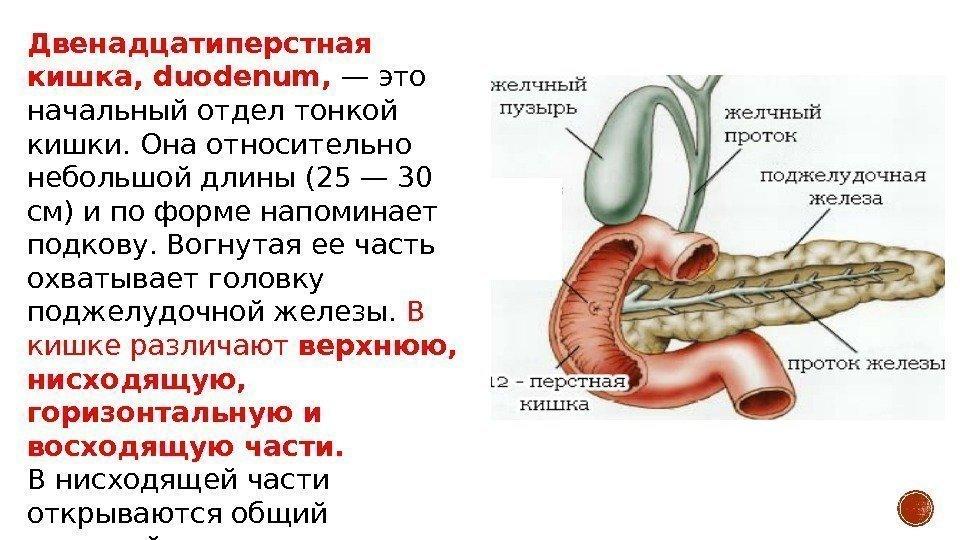 Анатомия органов пищеварения Пищевод, oesophagus