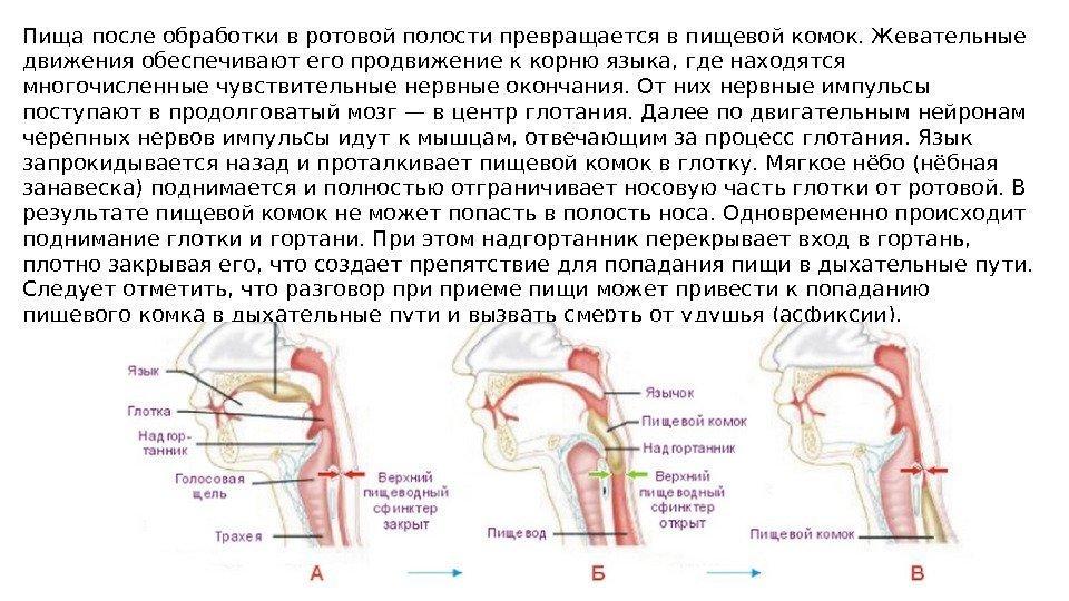 Физиология пищеварения Питание - процесс поступления, переваривания
