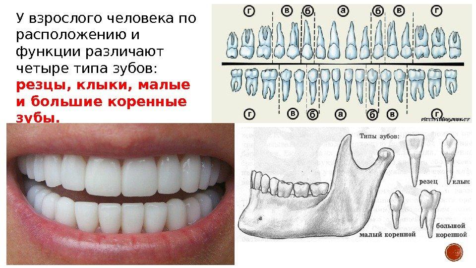 Зубы взрослого человека фото