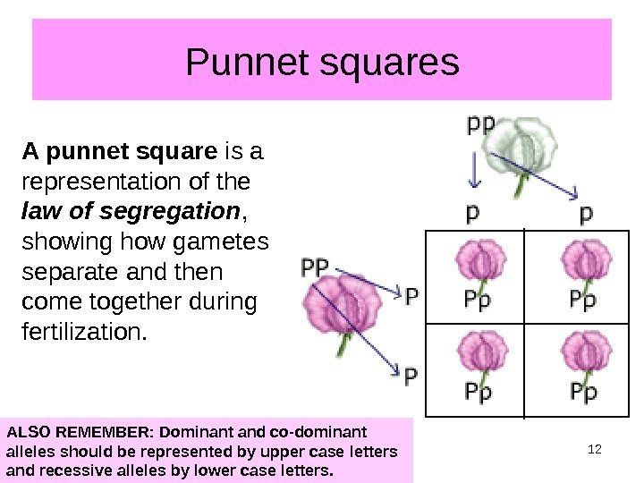 Punnet squares A punnet square is a representation of the law of segregation ,