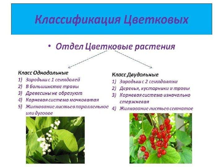 Дурман обыкновенный фото описание свойства растения
