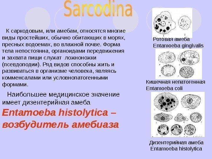 простейшие паразиты в кишечнике человека
