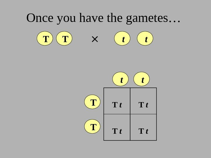 Once you have the gametes…  T  T  t  t