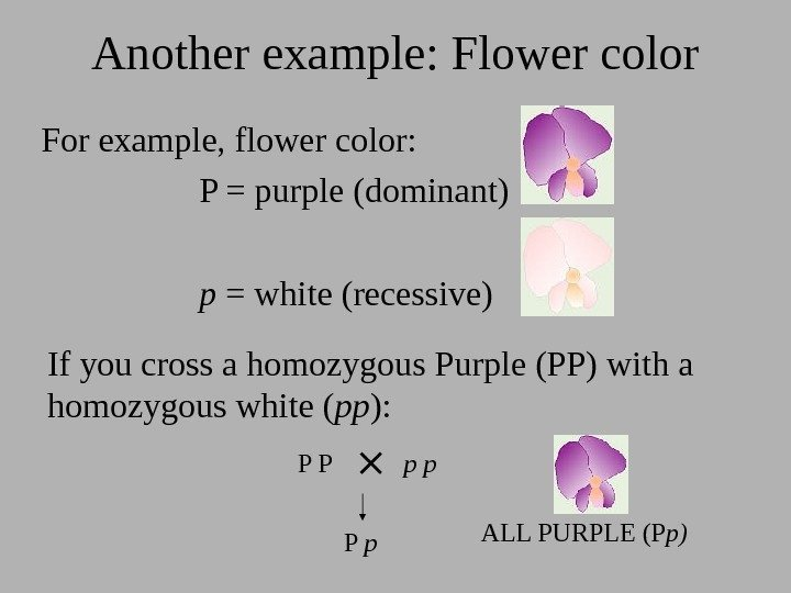 Another example: Flower color For example, flower color: P = purple (dominant) p =
