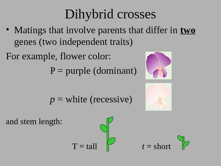 Dihybrid crosses • Matings that involve parents that differ in two  genes (two