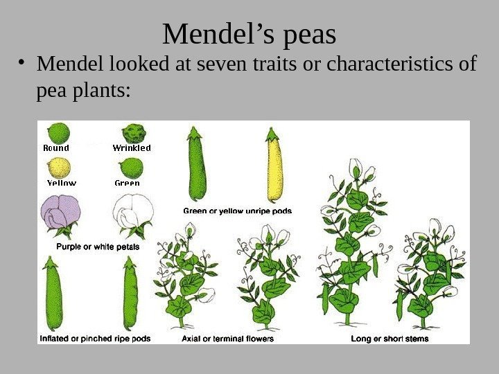 Mendel's peas • Mendel looked at seven traits or characteristics of pea plants:
