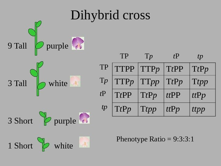 Dihybrid cross 9 Tall   purple 3 Tall   white 3 Short