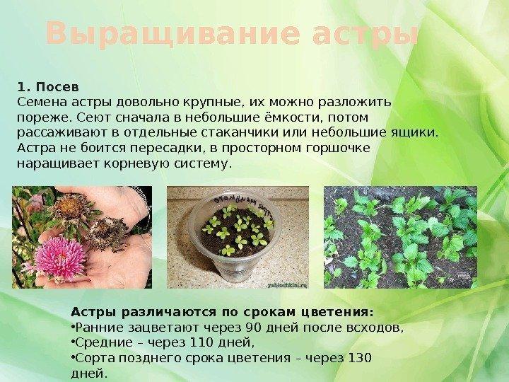 Как из семян вырастить астру из семян в домашних условиях на рассаду