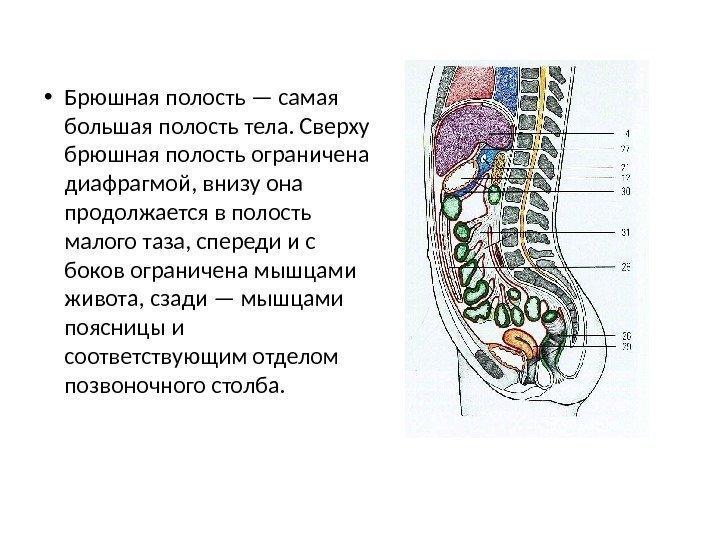 брюшной органов Строение полости человека