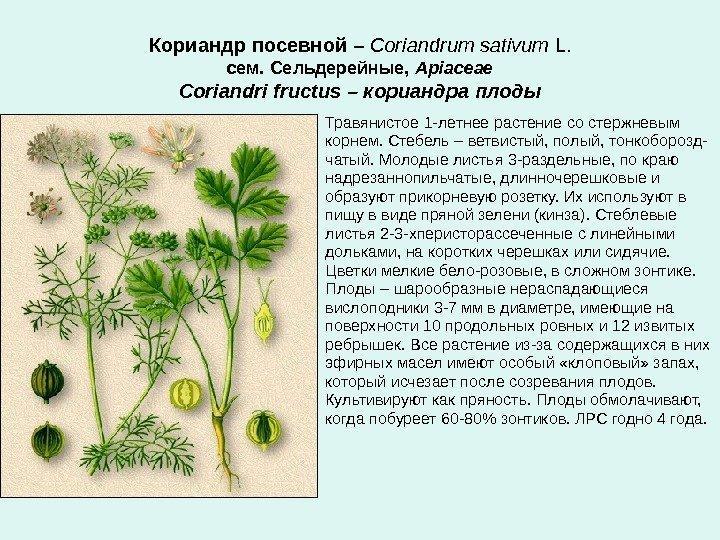 Молодые стебли кориандра
