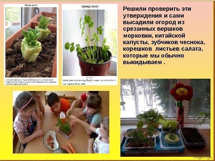 Решили проверить эти утверждения и сами высадили огород из срезанных вершков морковки, китайской капусты,
