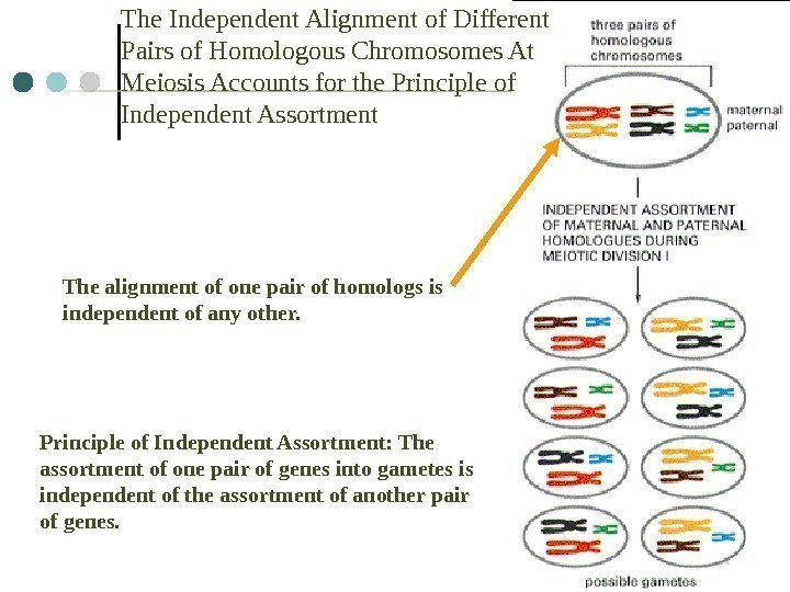5 The Independent Alignment of Different Pairs of Homologous Chromosomes At Meiosis Accounts for