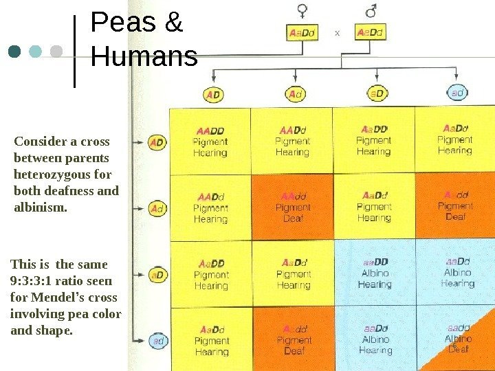 6 Peas & Humans Consider a cross between parents heterozygous for both deafness and