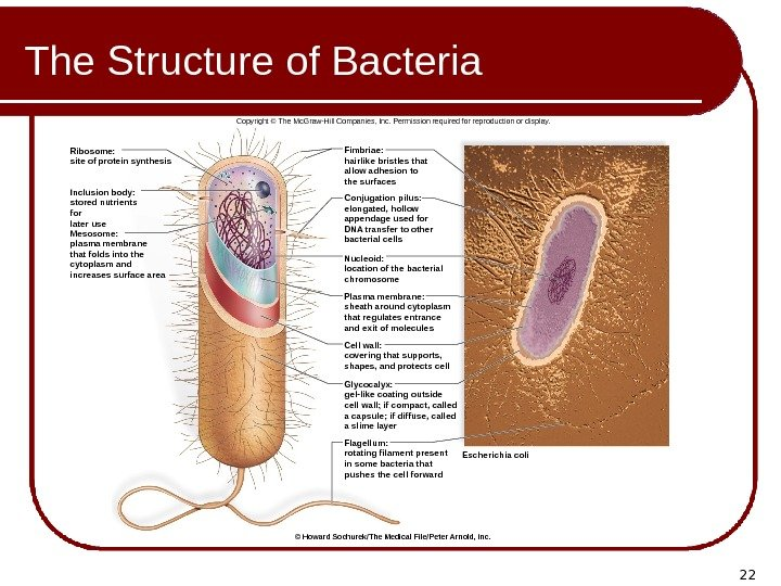 22 The Structure of Bacteria Inclusion body: stored nutrients for later use Mesosome: plasma