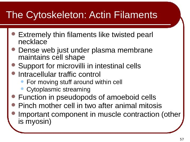 57 The Cytoskeleton: Actin Filaments Extremely thin filaments like twisted pearl necklace Dense web