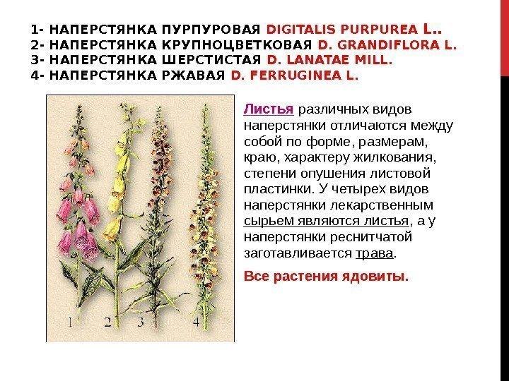 Наперстянка ржавая digitalis ferruginea посвященное марсу растение