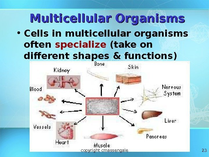 23 Multicellular Organisms • Cells in multicellular organisms often specialize (take on different shapes