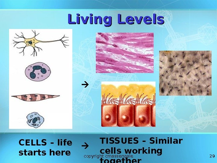 29 CELLS – life starts here TISSUES – Similar cells working together. Living Levels