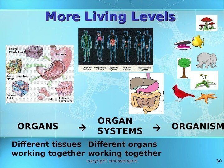 30 ORGANS ORGAN SYSTEMS ORGANISM Different tissues working together Different organs working together More