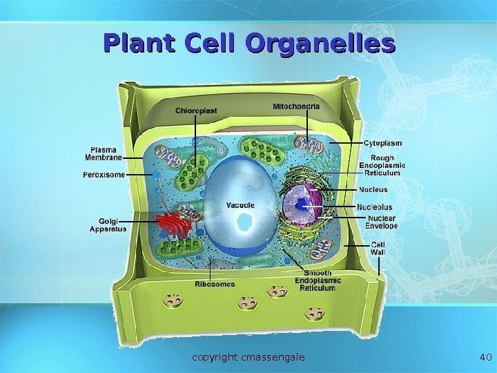 40 Plant Cell Organelles copyright cmassengale