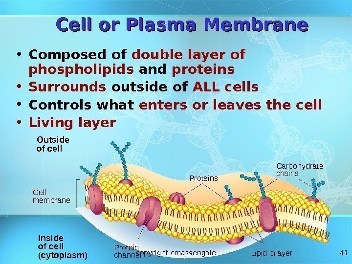 41 Cell or Plasma Membrane Outside of cell Inside of cell (cytoplasm)Cell membrane Proteins