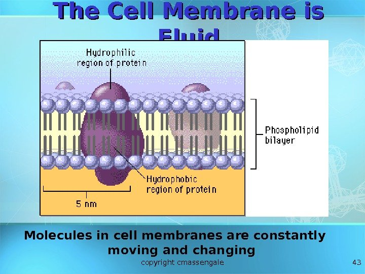 43 The Cell Membrane is Fluid Molecules in cell membranes are constantly moving and