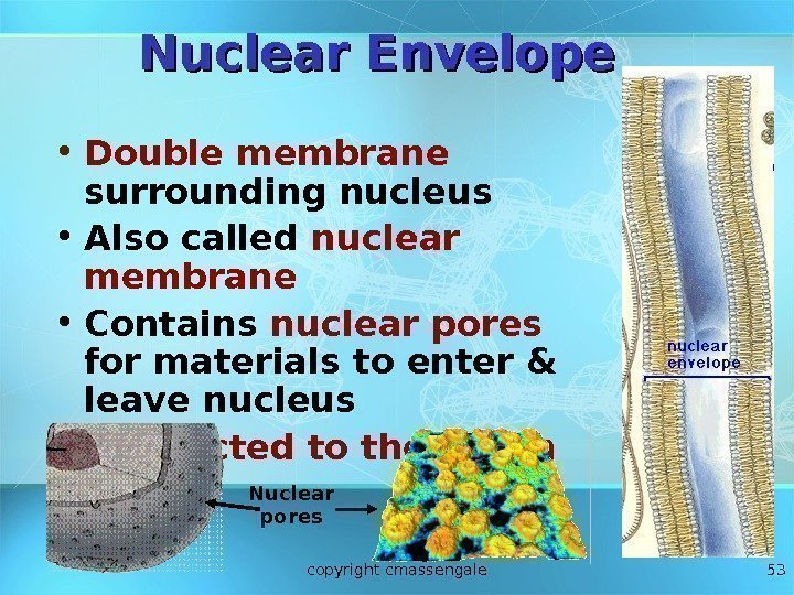 53 Nuclear Envelope • Double membrane  surrounding nucleus • Also called nuclear membrane